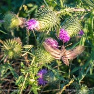 c2014GregBrown_SphinxMothWithThistles_4312-bb12x12Smw1200